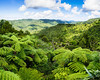 Fern trees and rain forest<br /> Waitakere Ranges<br /> Auckland