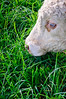 Grazing catlle<br /> Cornwall Park<br /> Auckland