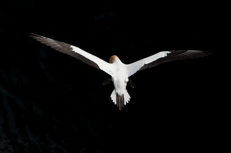 Wingspan of an Australian Gannet at maximum extension, while in flight at the Muriwai gannet colony on the west coast