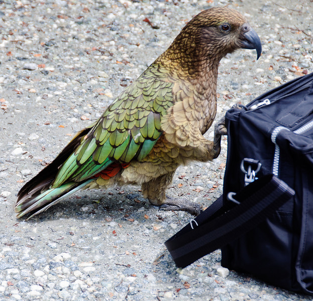Stumpy the kea<br /> West Arm Cove<br /> Manapouri Lake<br /> South Island<br /> New Zealand