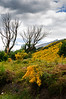 Hillside covered in flowering broom<br /> Glenorchy<br /> South Island<br /> New Zealand