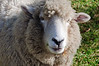 Sheep portrait<br /> Hamurana<br /> North Island<br /> New Zealand