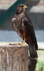 New Zealand native falcon<br /> Wingspan<br /> Rotorua