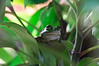 Southern bell frog<br /> Rainbow Springs<br /> Rorotua
