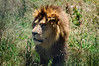 Lion on the prowl<br /> Paradise Valley Springs<br /> Rotorua