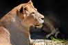 Lioness resting<br /> Paradise Valley Springs<br /> Rotorua