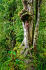 Tree with symbiotic growth displaying aerial roots<br /> McLean Falls<br /> The Catlins<br /> South Island<br /> New Zealand