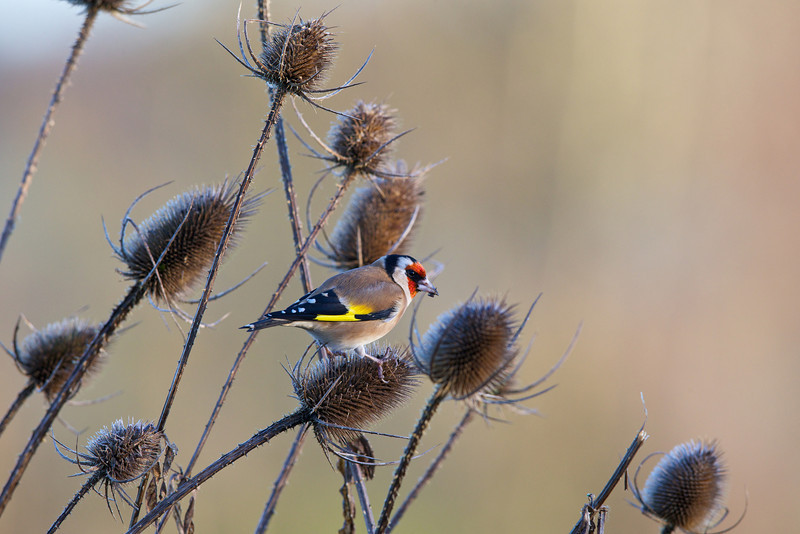 goldfinch 2013-12-17 at 10-10-47