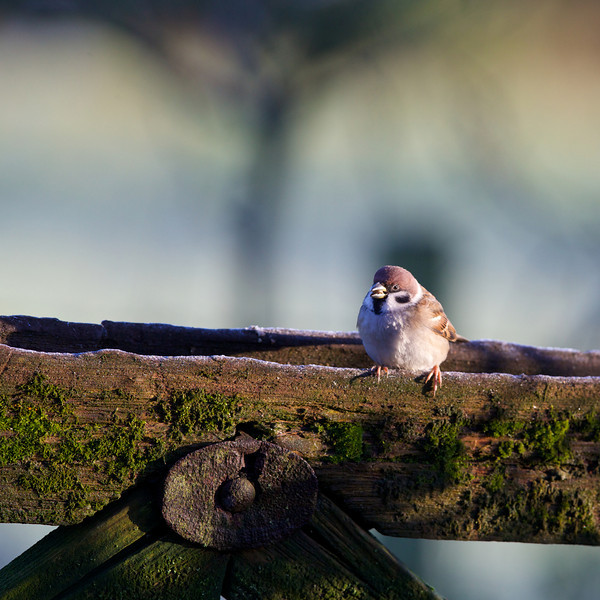 tree sparrow 2013-12-17 at 10-38-22