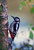 great soptted woodpecker 2013-12-17 at 10-03-18
