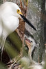 Snowy egret and chick