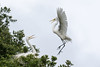 Egret courting