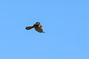 17th Feb 13:  Hovering Kestrel at Totters Lane