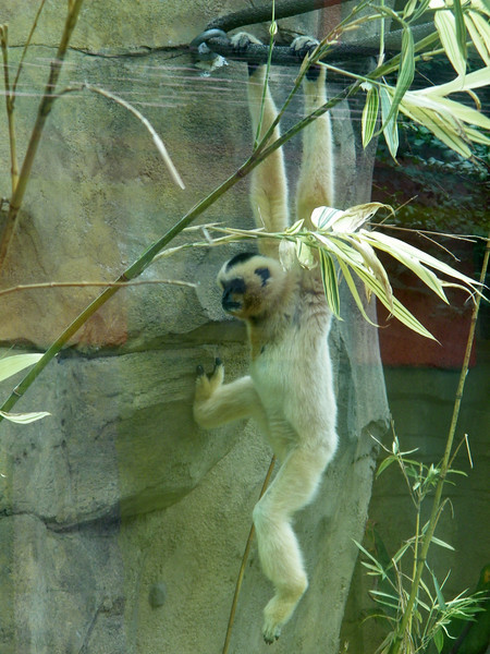 2011 VA Zoo White Female Gibbon