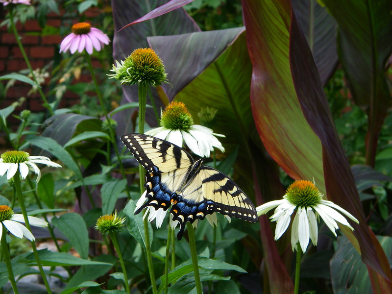 2011 Swallowtail on Coneflowers