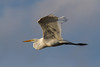 The Great Egret (Ardea alba),