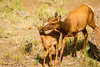 Elk and Calf-7033