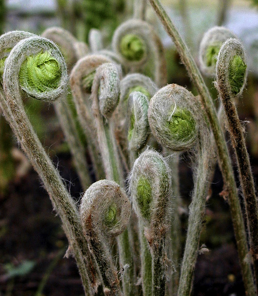 Fiddlehead Ferns, Early Spring