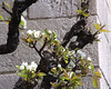 Pear Blossoms, Bonnefont Cloister