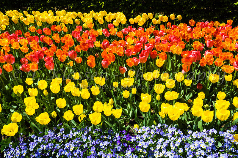 Colorful spring tulip flowers in the New York Botanical Gardens in New York, New York, USA.
