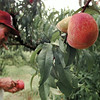"""Al Smith checks his freeze-damaged peaches, noticeable by the """"doubling"""" of the peach in the upper right corner of the photo, in an orchard on his farm just south of Pittsburg Thursday. Chris Matula photo."""