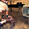 Andrea Gatlin makes friends with a potential acquisition Tuesday evening at the Ducks Unlimited banquet at Maude Cobb. The group was auctioning off this chocolate Lab. Chris Matula photo.