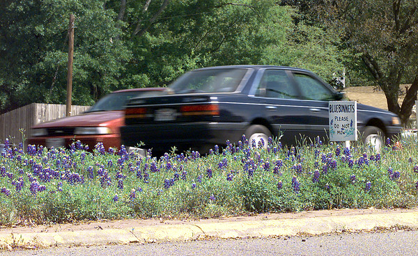 A plot of bluebonnets planted at a median in the intersection of Mobberly and Young with a sign asking the city not to mow there. Matula photo.
