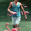 Charles Pauls, of Chalk Hill, rearranges the flamingos in his parents lawn Thursday afternoon. Kevin Green