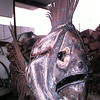 """Fish sculpture that is affectionately called """"E.G."""" due to its' resemblance to Edward G. Robinson.  Lester Phipps, Jr."""