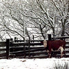 Cow in snow..Daingerfield.  Lester Phipps, Jr.