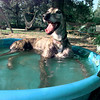 Charlie William takes a refreshing dip as temperatures soar in the Bob & Cecelia Johnston family wading pool in the 4900 block of Fountain Ln. recently. Bob named him for his father-in-law who is generally laid-back. Matula photo.