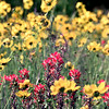 Date:   4/24/98---Wildflowers line Hwy 49 between Avinger and Hughes Springs as of Friday afternoon the flowers were in full bloom. Kevin green