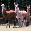 Date: 4/24/98---Young Lamas on the Gardner's ranch. kevin green