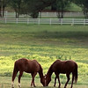 04/27/98--Seeking the choicest grass, one horse nudges the other around a pasture off Gay Ave. in Gladewater. Matula photo.
