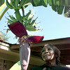 Date:   8/18/98----Ruby Chatham takes a closer look at her banana stalk on her banana tree Tuesday morning at her home in Easton. Kevin green