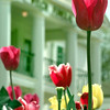 Tulips bloom in front of Welch Funeral Home, Tuesday afternoon in Longview. kevin green