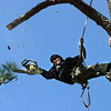 Hilario Solis with H&S Tree Service trims a branch prior to cutting down a large pine tree in the 1500 block of Judson on a cold Monday morning. (Insert wether forecast here-CM). Matula photo.