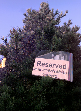 Date:   11/24/98---The Gov Bush's tree sits at the Robinson's farm as it awaits to be cut. Kevin green