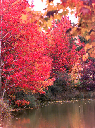 Date:   11/18/98--- Spectacular fall foliage reflects in the water of the pond at Buckner Westminster Place Wednesday afternoon in Longview. Kevin green