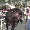 Date:   10/24/98----Smith County 4-H  member Shannon Oden shows off her grand champion steer that sold for $3,500 during  the auction of the Harvest Festival as it comes to an end Saturday evening at the Gregg County Fairgrounds. Kevin green