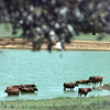 8/12/99---Cows migrate into a large pond Thursday on a private ranch in Harmony, trying to get a brief escape from the heat. bahram mark sobhani