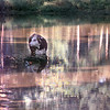 8/14/99---A cow cools off in a pond along US 259  outside LGv. Kevin green