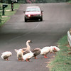 6/29/99---Fowl clean themselves as they take up the roadway in the 2000 BLK. of Buccaneer Dr. Tuesday afternoon in Longview. Kevin green