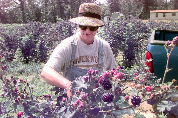 6/3/99---Crazy Granny or other wise known as Ellen Brown, picks blackberries at her home in Diana. Kevin green