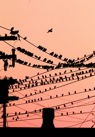 9/30/99---Black birds rest on criss-crossing power lines Thursday evening at the Swepco Power Substation on Cotton near Mobberly. bahram mark sobhani