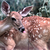 9/10/99---One of four White Tail fawns in the care of rehabilatator Jim McCubbin in Liberty City. Kevin Green