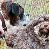 Jill Wright's dog, Cinder, left, of Marshall plays with Tiffany Evans' dog Charlie, right, as they awit the Ugly Dog Contest Saturday, Feb. 8, 2014, at the Dog Park in Marshall(Kevin Green/News-Journal Photo)