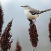 A mockingbird rests on sumac near the Trailhead Terrace at the Wildcat Glades Conservation & Audubon Center Saturday afternoon, Dec. 14, 2013. Globe | T. Rob Brown