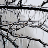 Ice formations cover a tree as they do much of the area Saturday afternoon, Dec. 21, 2013, outside Carthage High School. Globe | T. Rob Brown