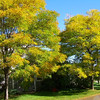 creekside_honeylocust